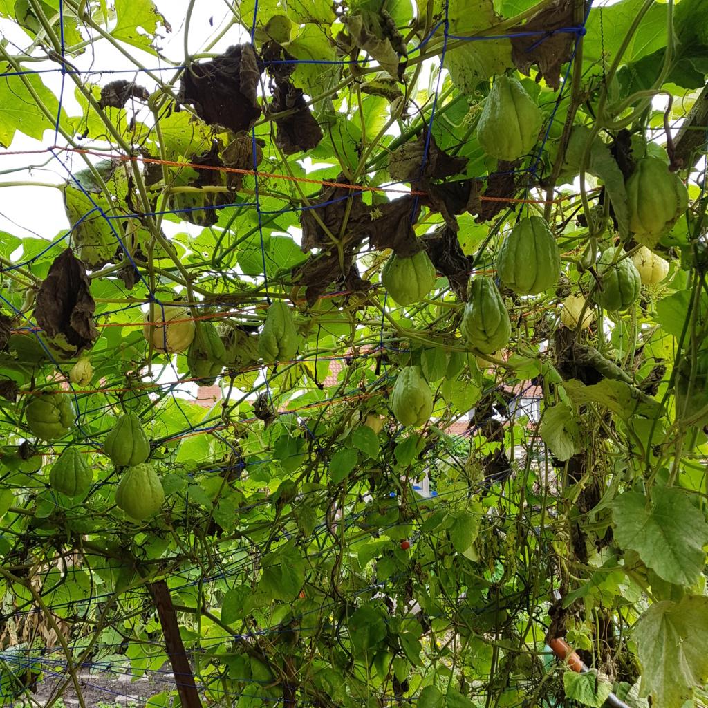 Kürbisgewächse - Cucurbitaceae: Melonen, Gurken, Kürbisse und Zucchini - alle Verteter der nichtsukkulenten Arten - Seite 17 20191012
