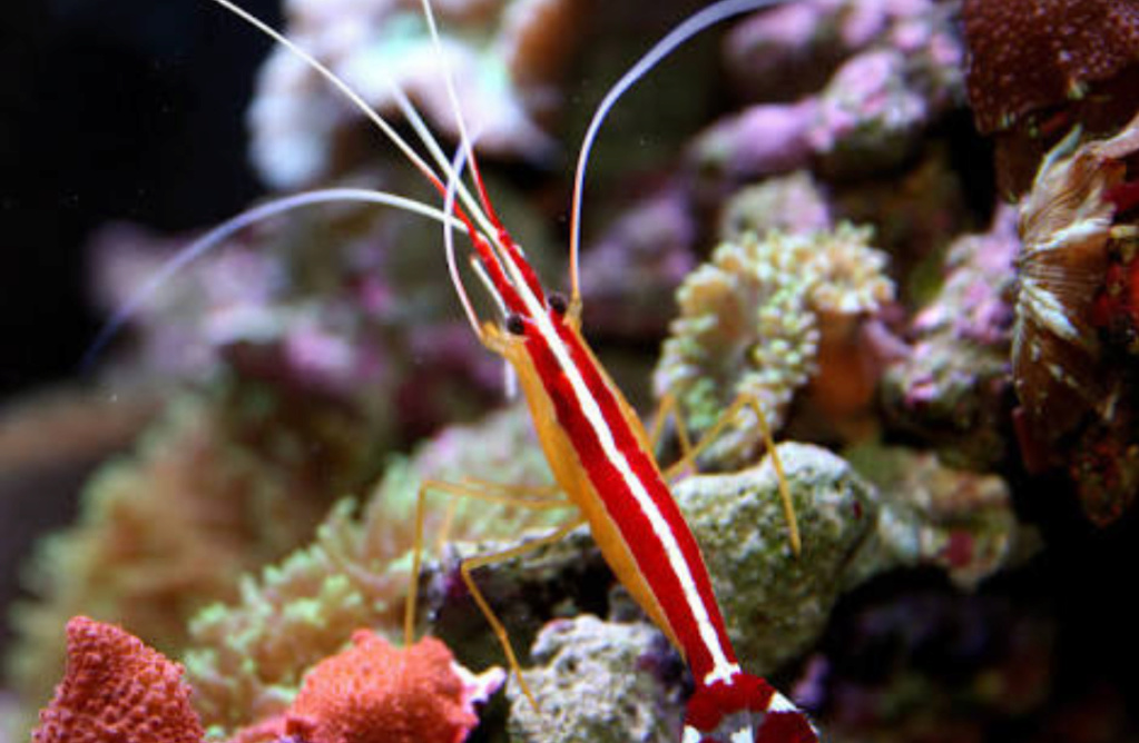 The Fact about Scarlet Shrimp a.k.a Udang Pelet the Cleaner Shrimp 20180613