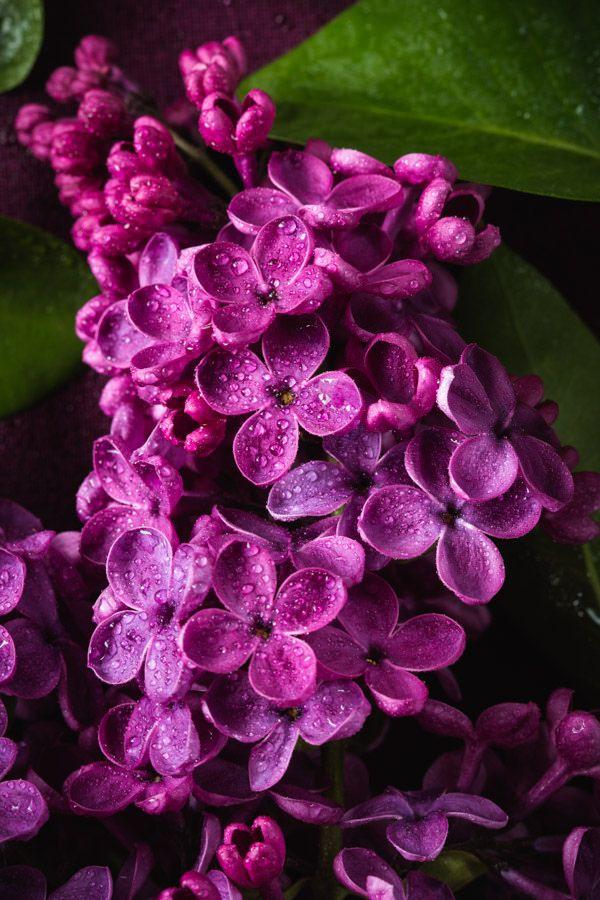 Fotografija dana - Page 13 Lilacs10