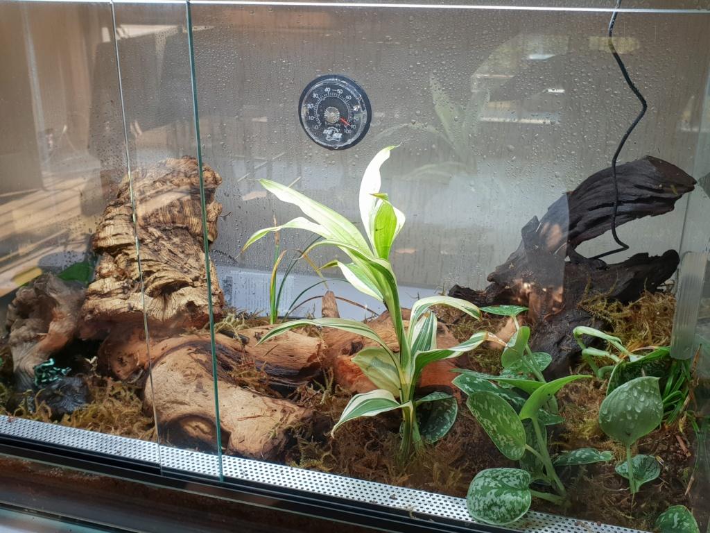 Terrarium dendrobate auratus :) 20180814