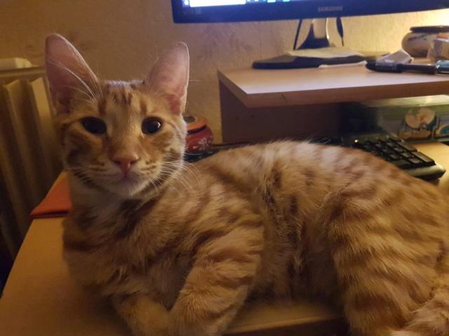 DRAGOMIR (ex MR LOUIS) - magnifique chat mâle léopard, né fin mai 2018 (BUCAREST) - EN FA chez Abysse (92) - ADOPTE PAR CYRIL (92) 45524511