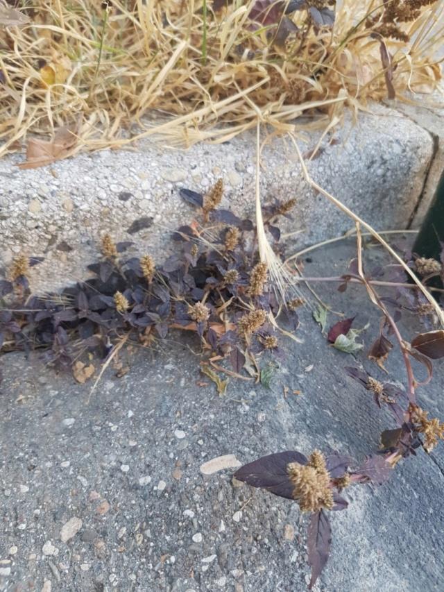 Amaranthus deflexus - amarante couchée 20180110