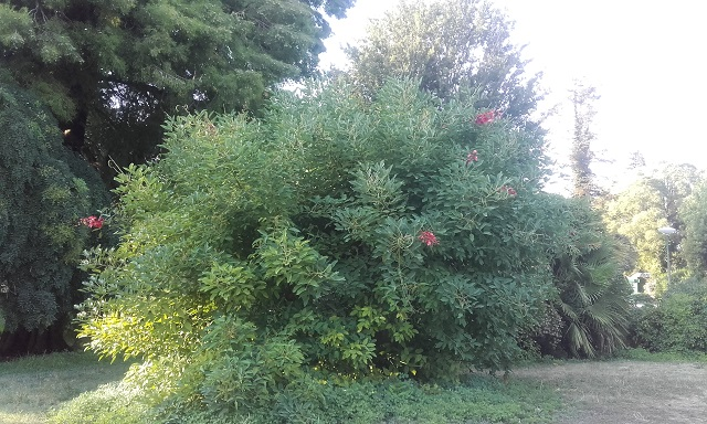 Erythrina crista-galli - Page 5 20180716