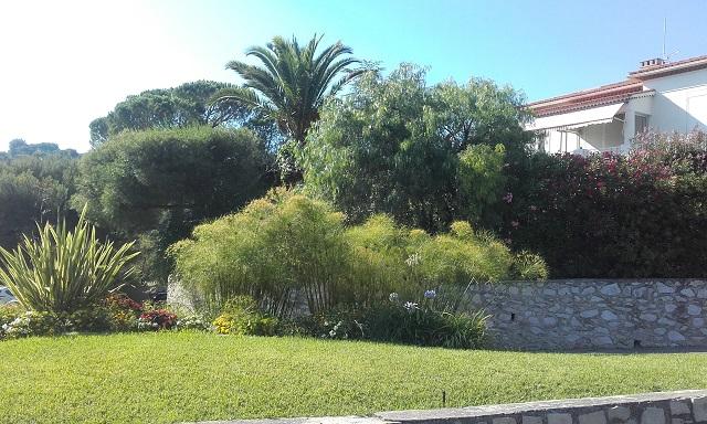 Cyperus papyrus - papyrus du Nil 20180740