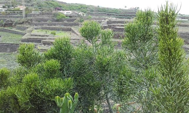 Euphorbia tirucalli - Page 2 20181119