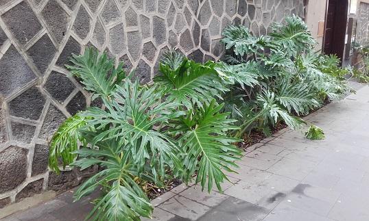 Philodendron bipinnatifidum - selloum - Page 3 20181124