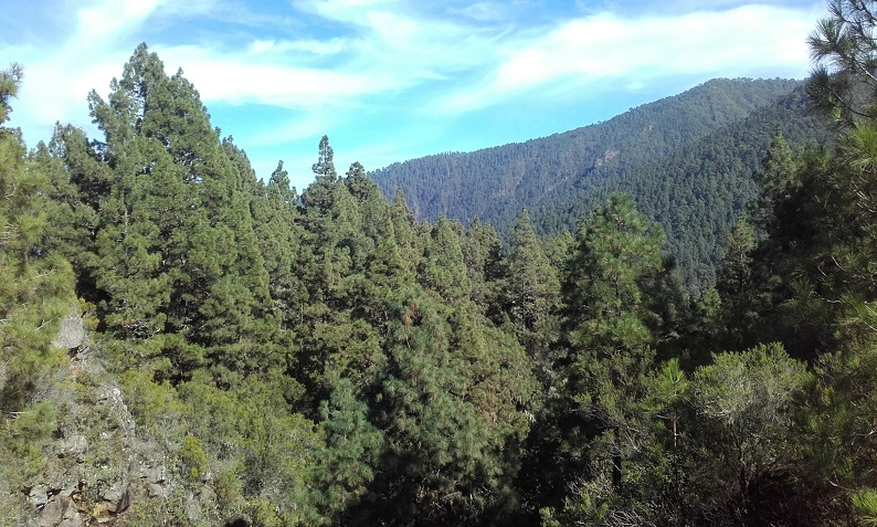 Pinus canariensis - pin des Canaries 20181126