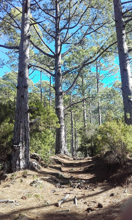 Pinus canariensis - pin des Canaries 20181127