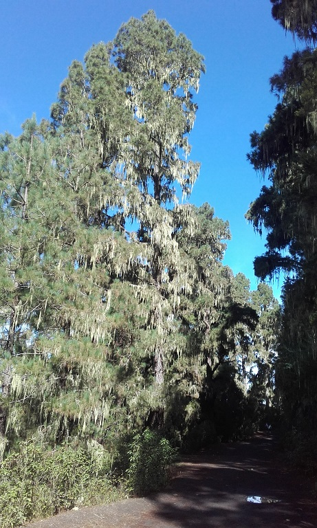 Pinus canariensis - pin des Canaries 20181128