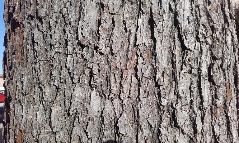 Cinnamomum camphora - camphrier - Page 4 20181217