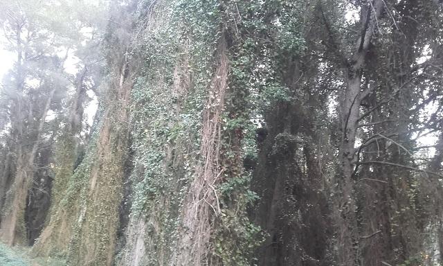Smilax aspera - salsepareille d'Europe - Page 2 20190213