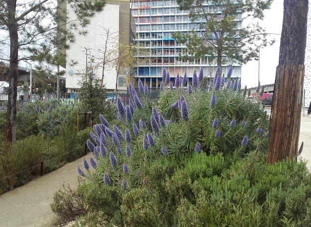 Echium candicans - vipérine de Madère 20190415