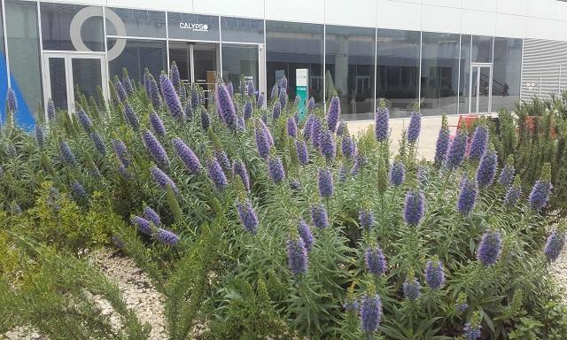 Echium candicans - vipérine de Madère 20190417