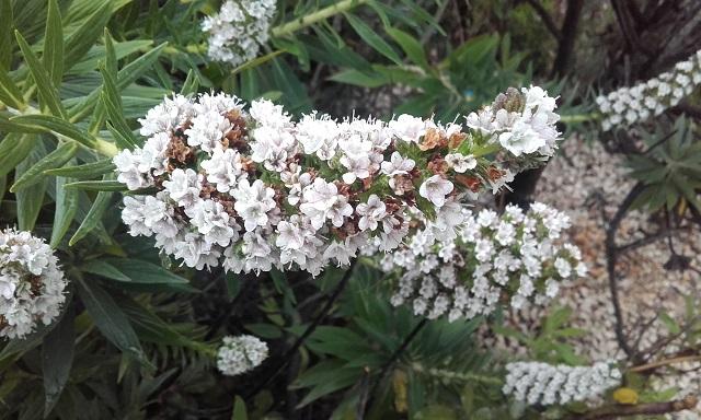 Echium candicans - vipérine de Madère 20190418