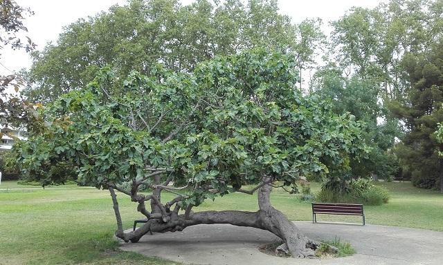 Ficus carica - figuier commun 20190710