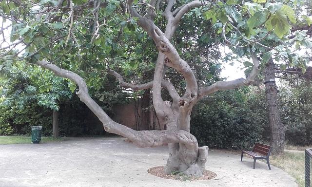 Ficus carica - figuier commun 20190712