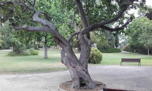 Ficus carica - figuier commun 20190713