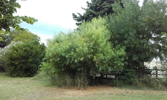 Searsia lancea (= Rhus lancea) 20190714