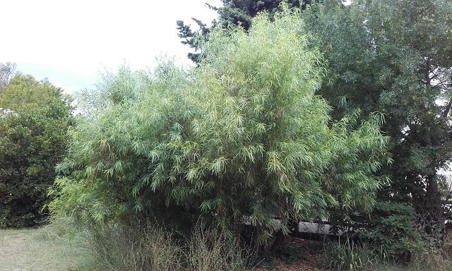 Searsia lancea (= Rhus lancea) 20190715