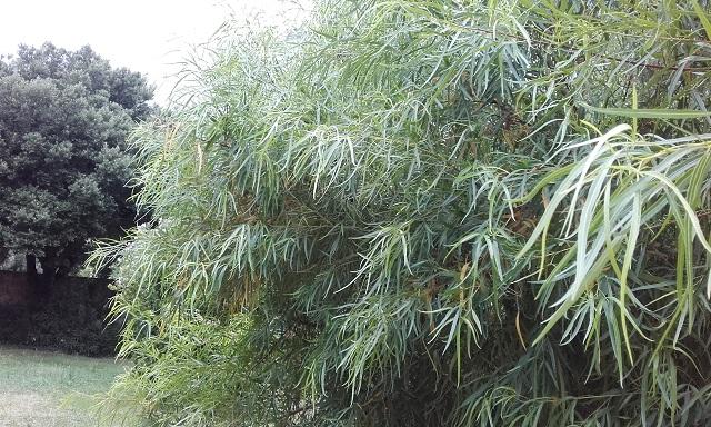 Searsia lancea (= Rhus lancea) 20190716