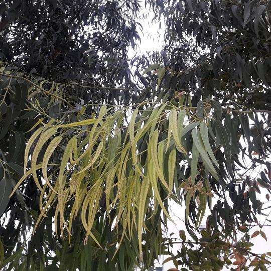 Eucalyptus globulus 20191015
