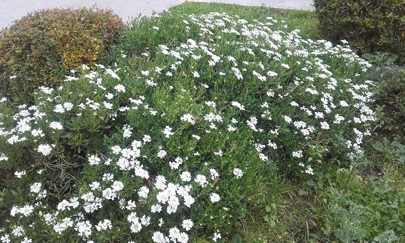 Iberis semperflorens - ibéris toujours fleuri 20200110