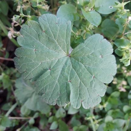 Geranium rotundifolium - géranium à feuilles rondes 20200210