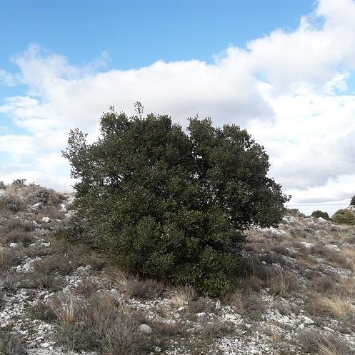 Phillyrea latifolia - filaire à feuilles larges 20200222
