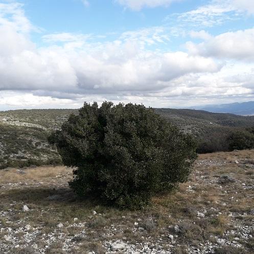 Phillyrea latifolia - filaire à feuilles larges 20200223