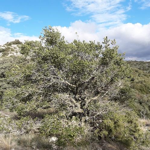 Phillyrea latifolia - filaire à feuilles larges 20200224