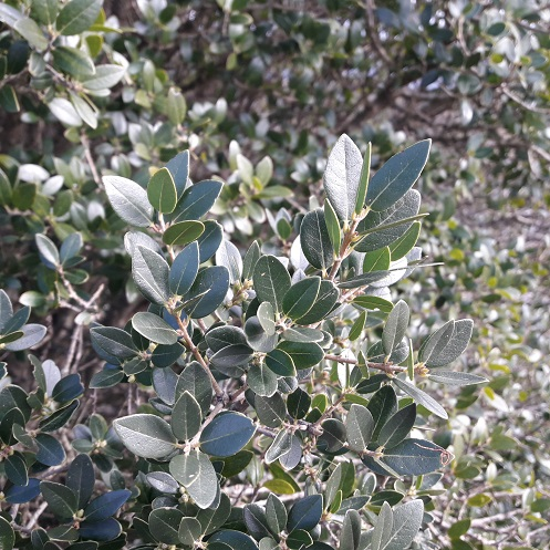 Phillyrea latifolia - filaire à feuilles larges 20200225