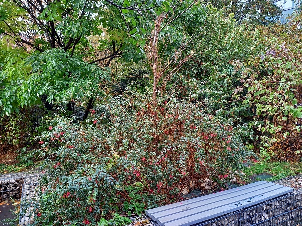 Fuchsia regia 20201012
