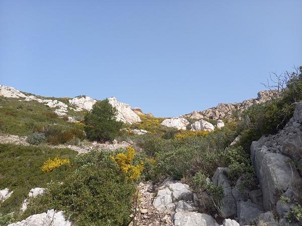 Ulex parviflorus - ajonc de Provence 20210210