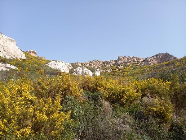 Ulex parviflorus - ajonc de Provence 20210211