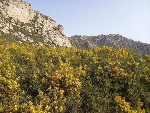 Ulex parviflorus - ajonc de Provence 20210213