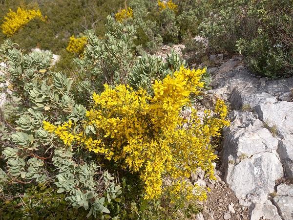 Ulex parviflorus - ajonc de Provence 20210214