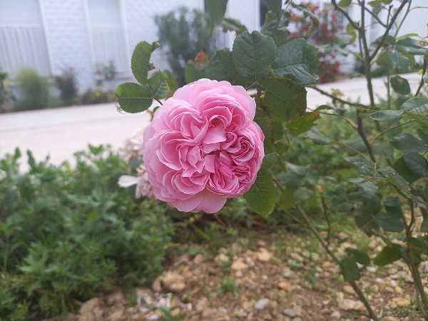 rosier 'Jacques Cartier' - Page 2 20210513