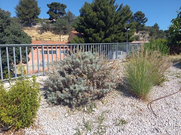Artemisia arborescens - armoise arborescente 20210712