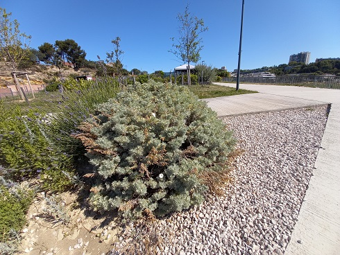 Artemisia arborescens - armoise arborescente 20210713