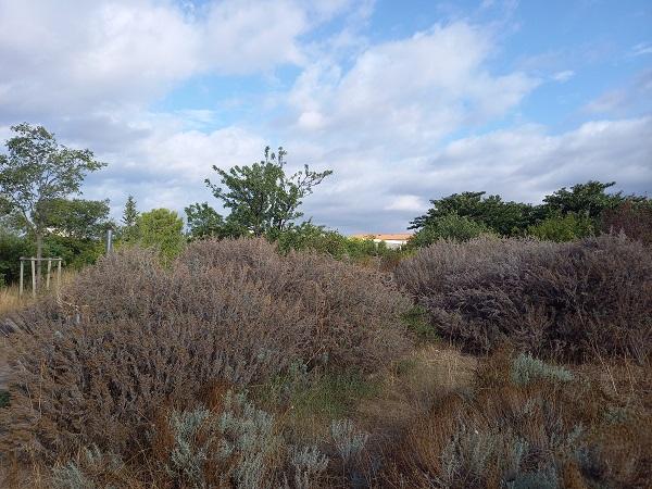 Artemisia arborescens - armoise arborescente 20210813