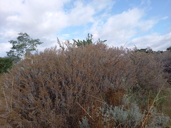 Artemisia arborescens - armoise arborescente 20210814