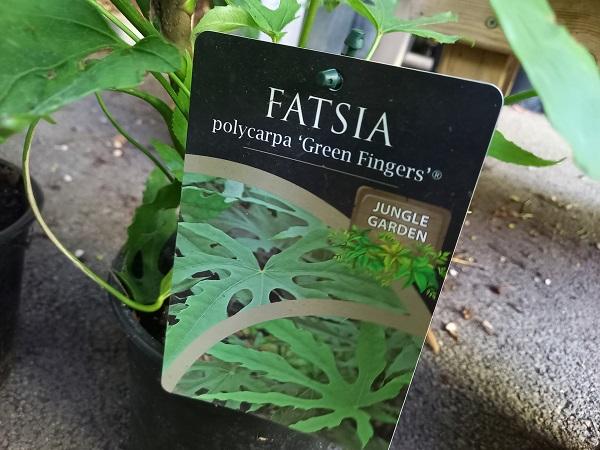 Fatsia polycarpa - Page 4 20210828