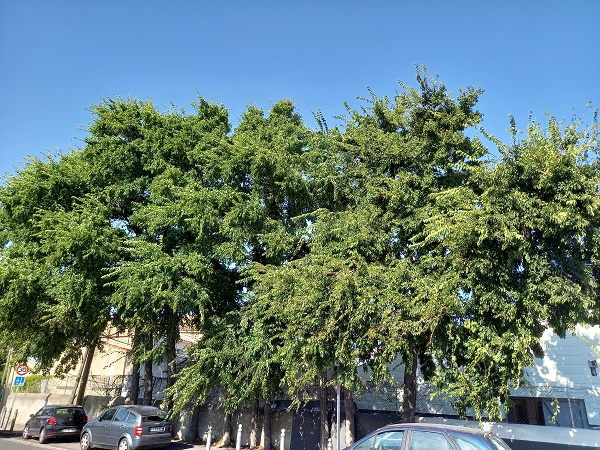Celtis occidentalis - micocoulier occidental 20210910