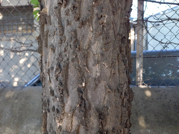 Celtis occidentalis - micocoulier occidental 20210914