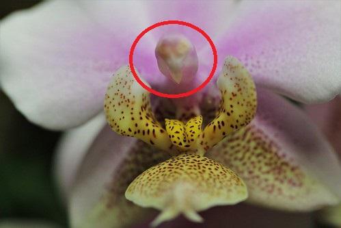 Phalaenopsis wiganiae 33186710