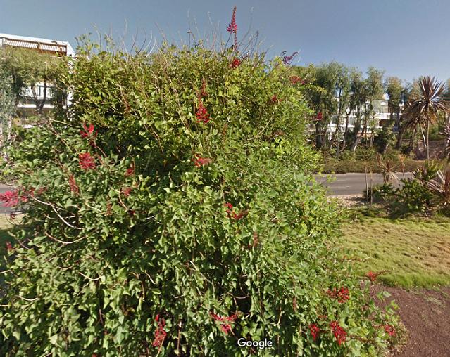 Erythrina humeana - Page 2 Captur10
