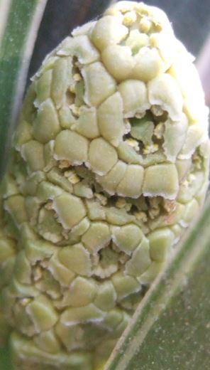 Rohdea japonica [Devinette Cékoidonc] Captur16