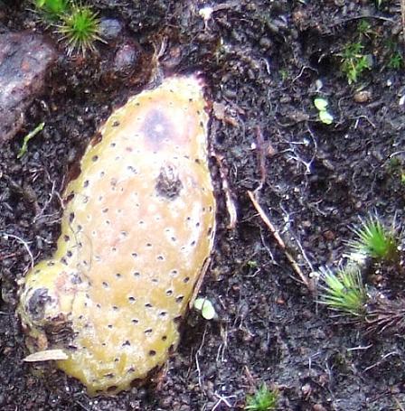 Davalia canariensis [Devinette Ténérife] Captur16