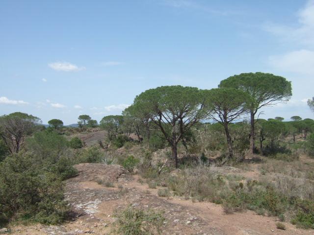 Pinus pinea - pin parasol - Page 3 Dscf0010