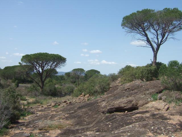 Pinus pinea - pin parasol - Page 3 Dscf0011